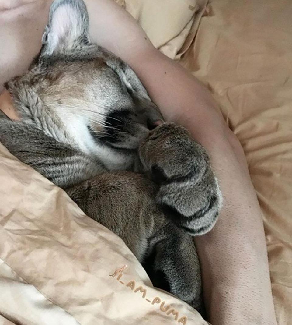 Puma es abrazado mientras duerme