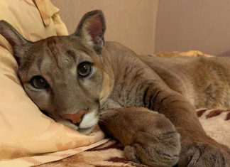 Puma rescatado de zoo vive como gato mimado