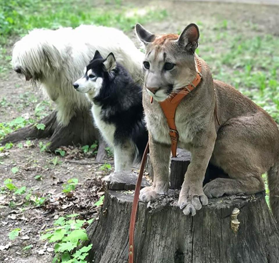 Puma y perros