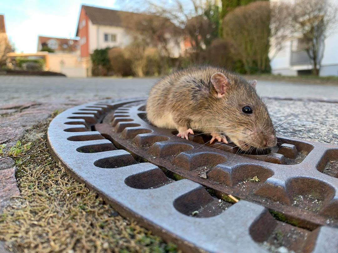 Rata atrapada en rejilla de alcantarillado