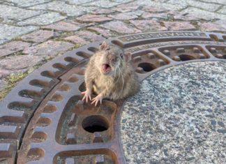 Rata gordita atrapada en una alcantarilla es rescatada