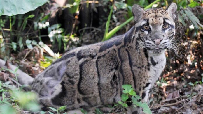 Reaparece leopardo nublado de Taiwán