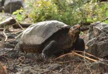 Tortuga gigante extinta encontrada en Islas Galápagos