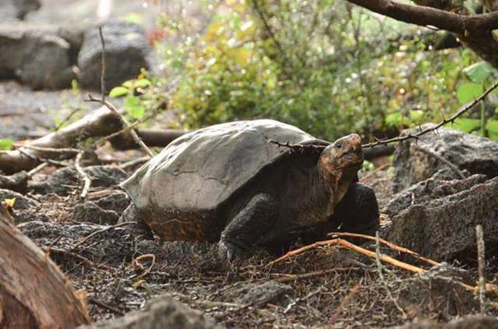 Tortuga gigante extinta encontrada viva en las Islas Galápagos