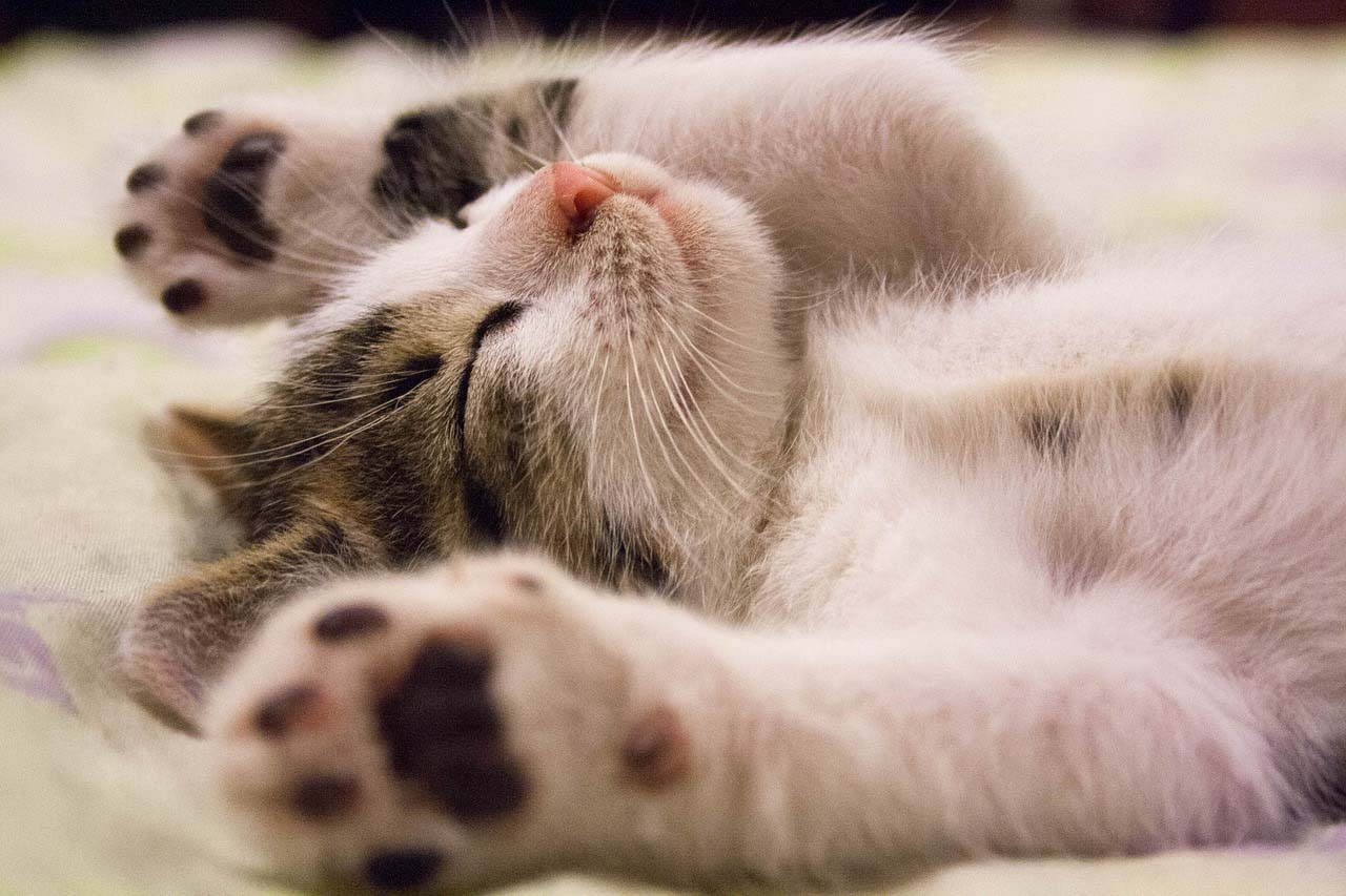 Felino durmiendo