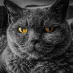 felino gris