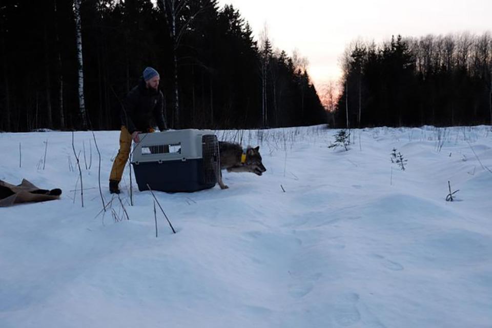 liberacion de lobo en la nieve