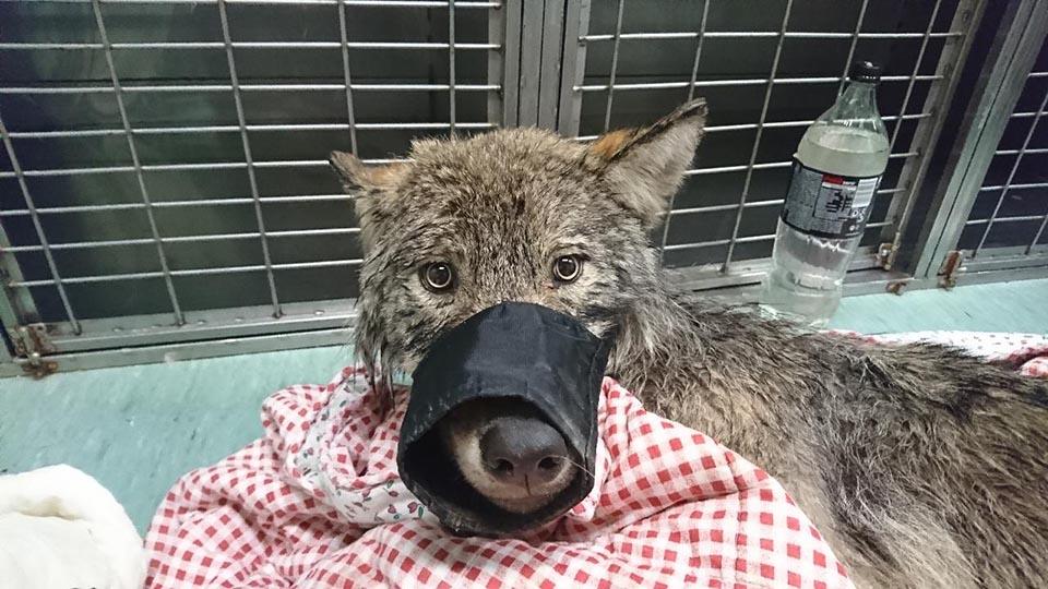 lobo en clinica de animales