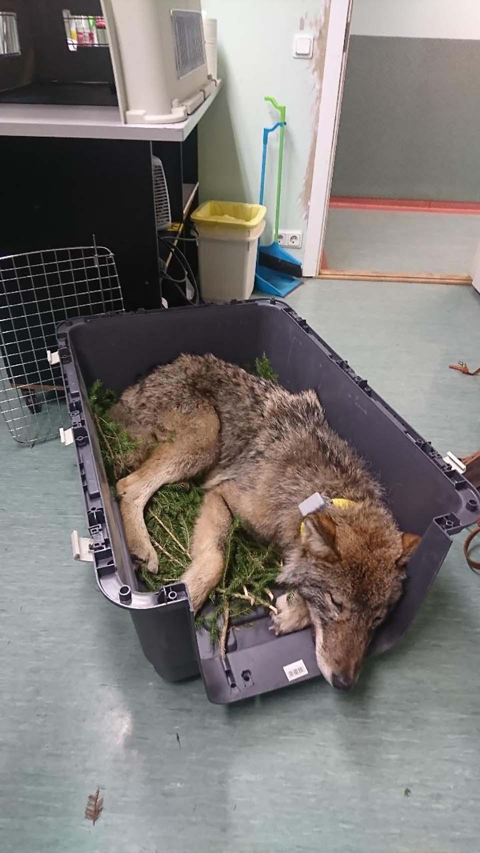 lobo en proceso de recuperacion