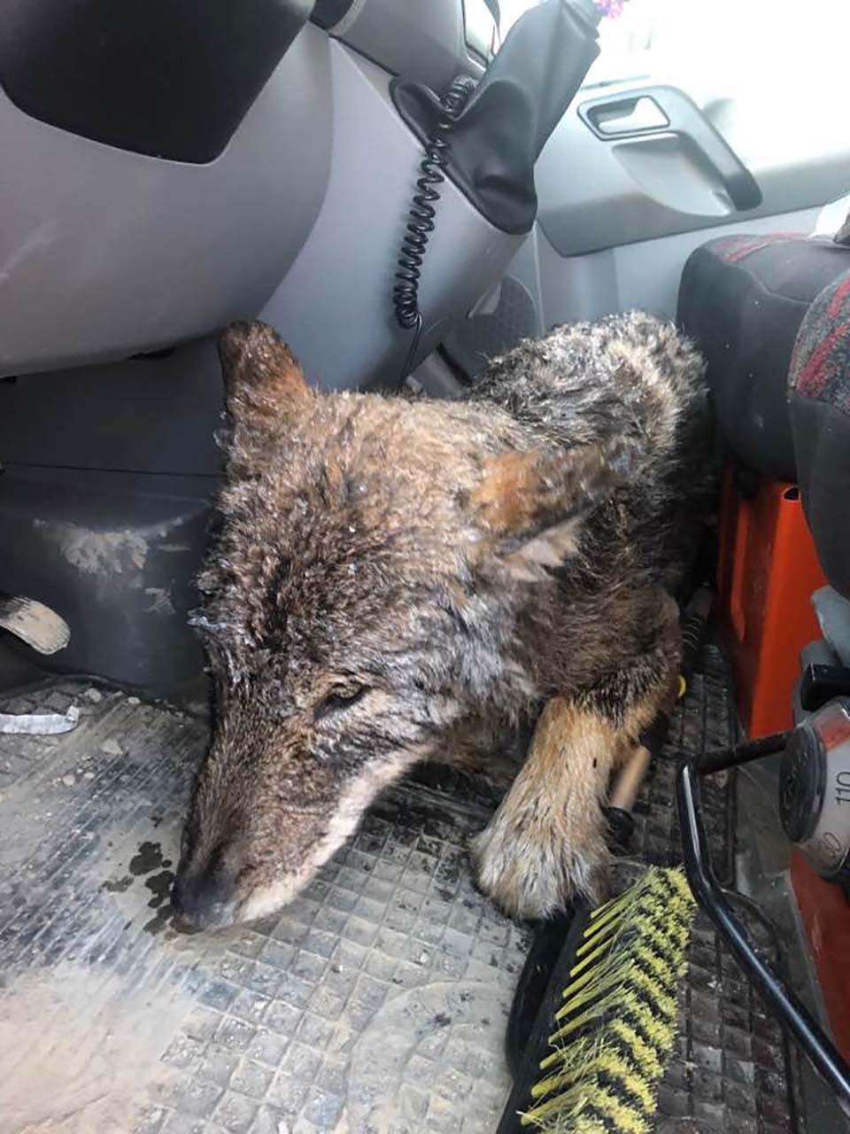 lobo rescatado en el auto