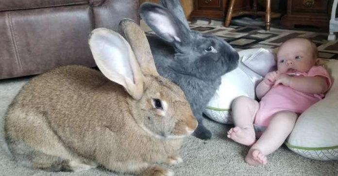 pareja de conejos gigantes deciden estar a cargo de su hermana bebe