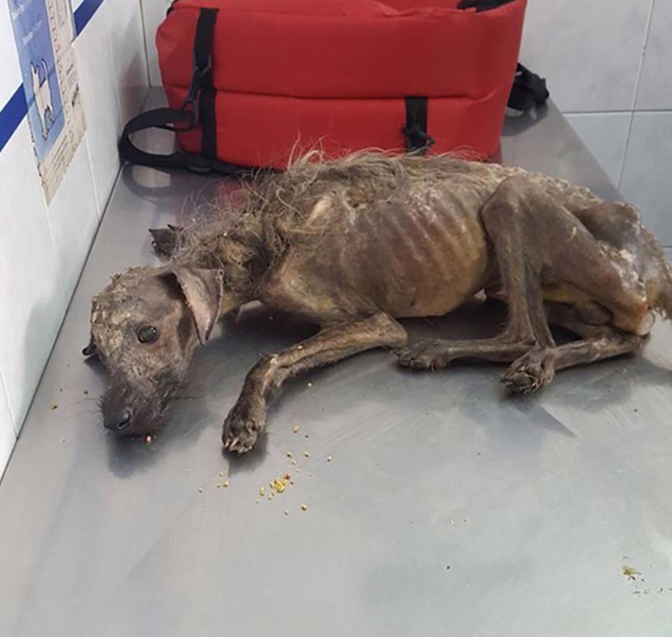 perro en grave estado de desnutricion