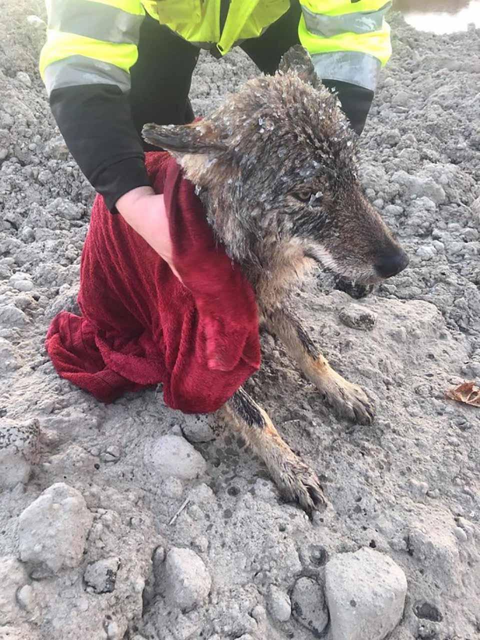 perro rescatado resulto ser un lobo