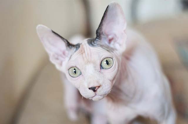 Sphynx gato esfinge