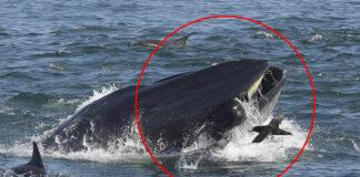 Buzo es tragado por una gran ballena