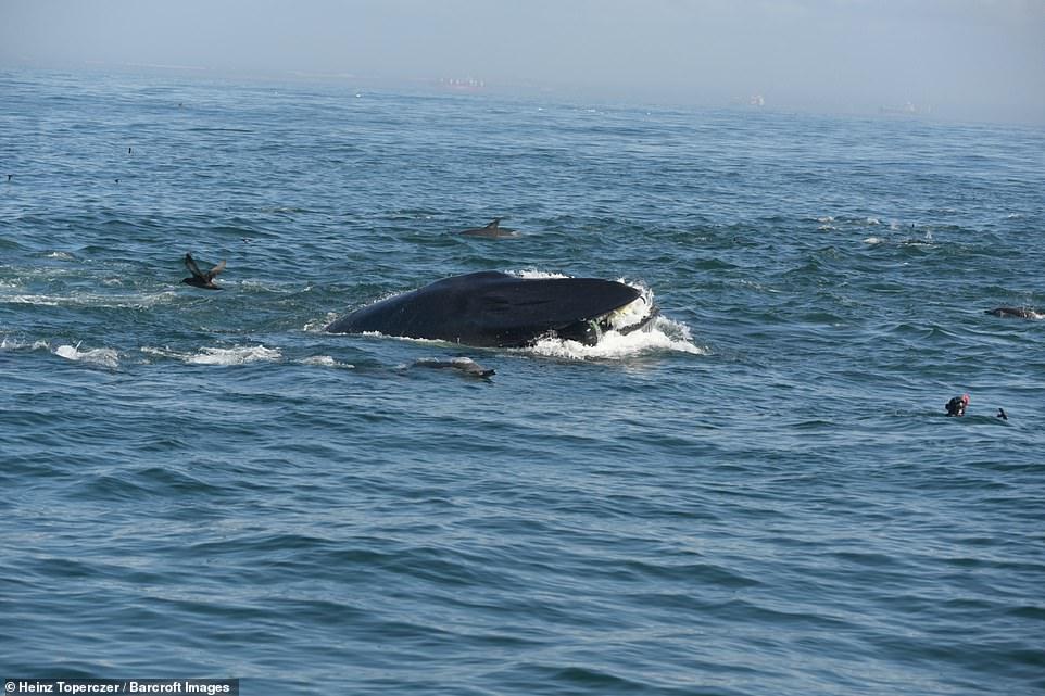Buzo tragado por ballena