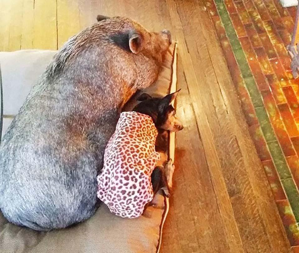 Cerdito y perro descansan