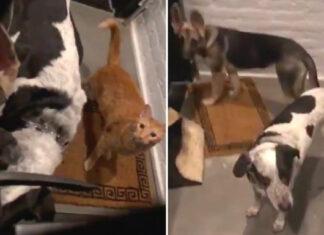Dos perros y un gato golpearon a la puerta