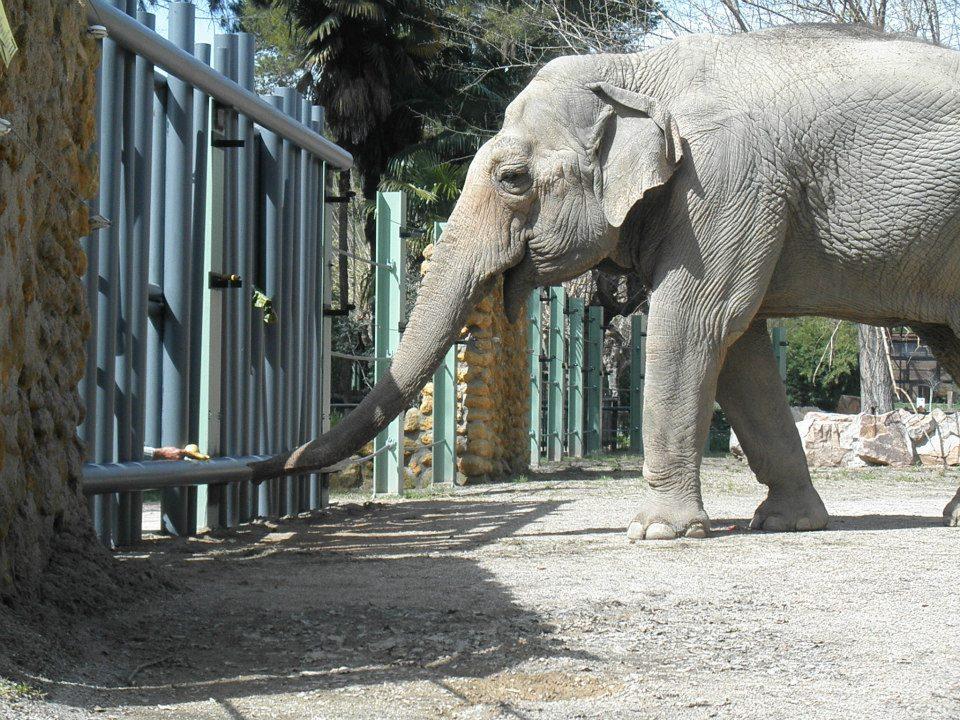 Elefante Flavia