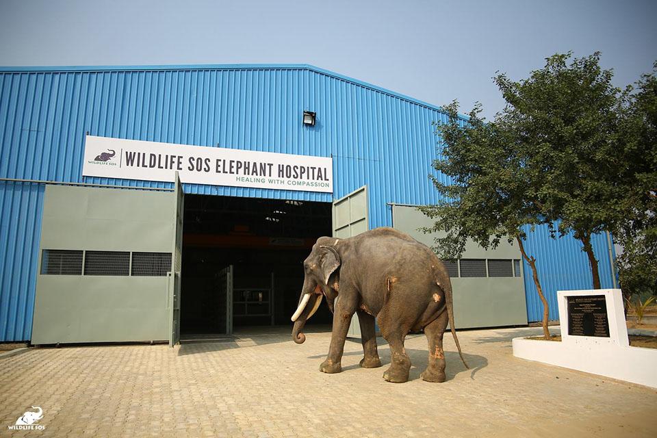 Elefante entra al hospital