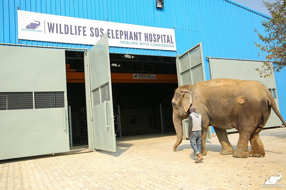Elefante entrando al hospital