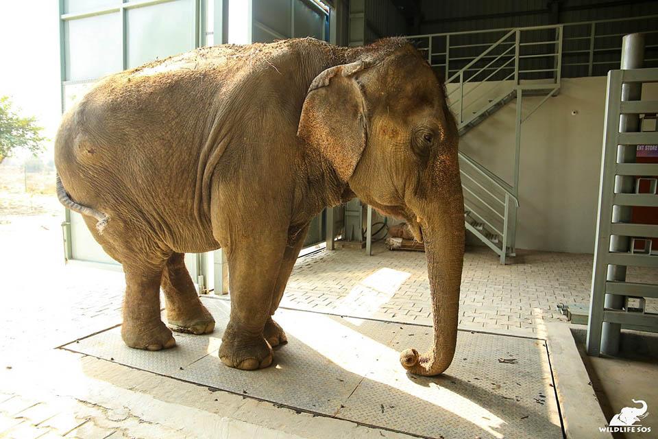 Elefante estrenando hospital