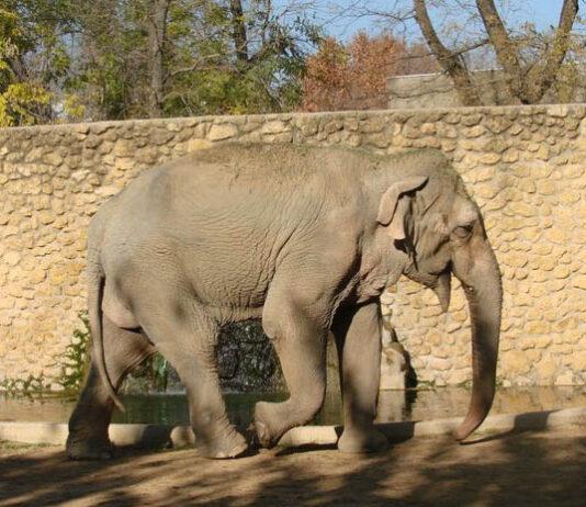 Elefante más triste del mundo muere solo en su celda del zoológico
