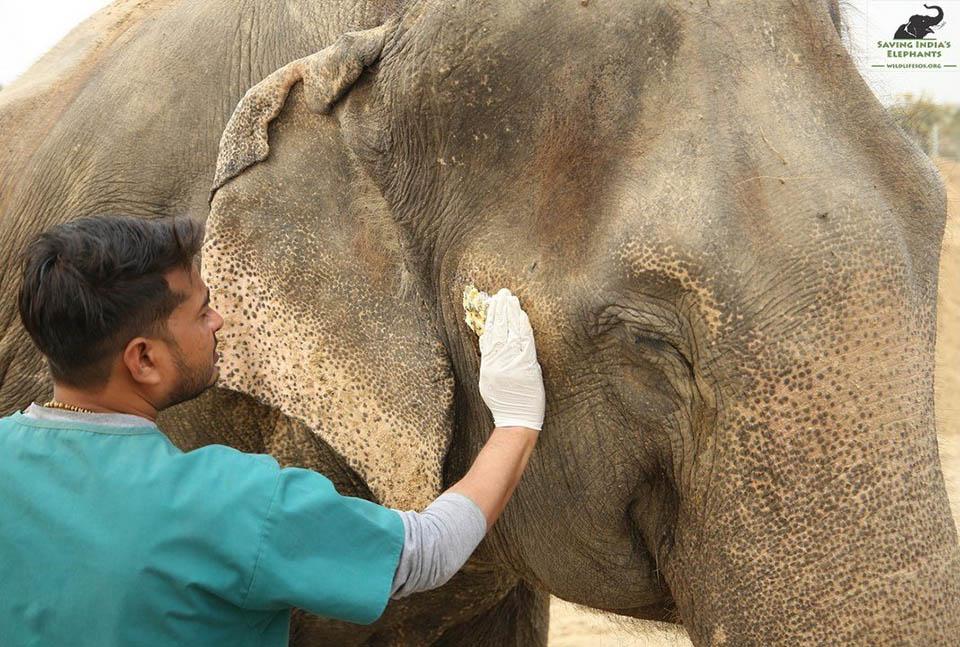 Elefante siendo tratado