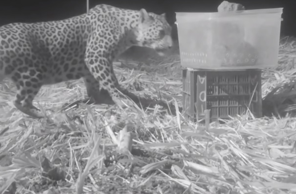 En la india madre encuentra a su leopardo