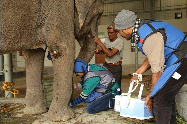 Examinan a elefante