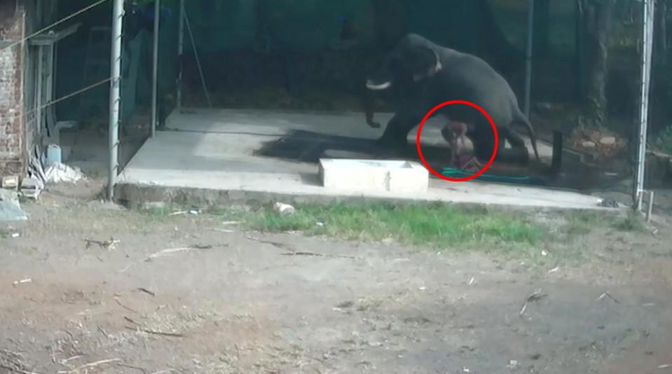 Hombre aplastado por elefante