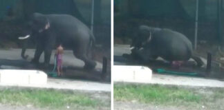 Hombre es aplastado por elefante mientras lo golpeaba para que se acostara
