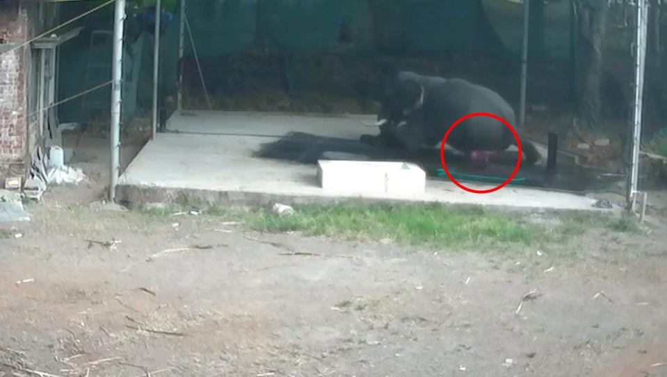 Hombre es aplastado por elefante que golpeaba para que se acostara