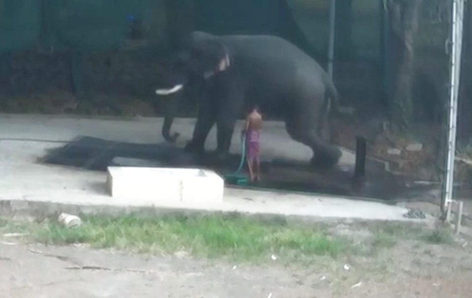 Hombre obliga a elefante a acostarse y este lo aplasta