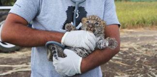 Hombres salvan a pequeño leopardo en un campo de caña de azucar