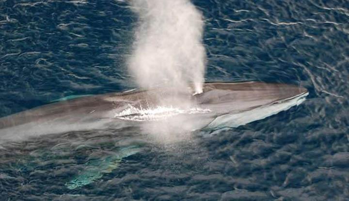 Islandia planea acabar con más de 2000 ballenas