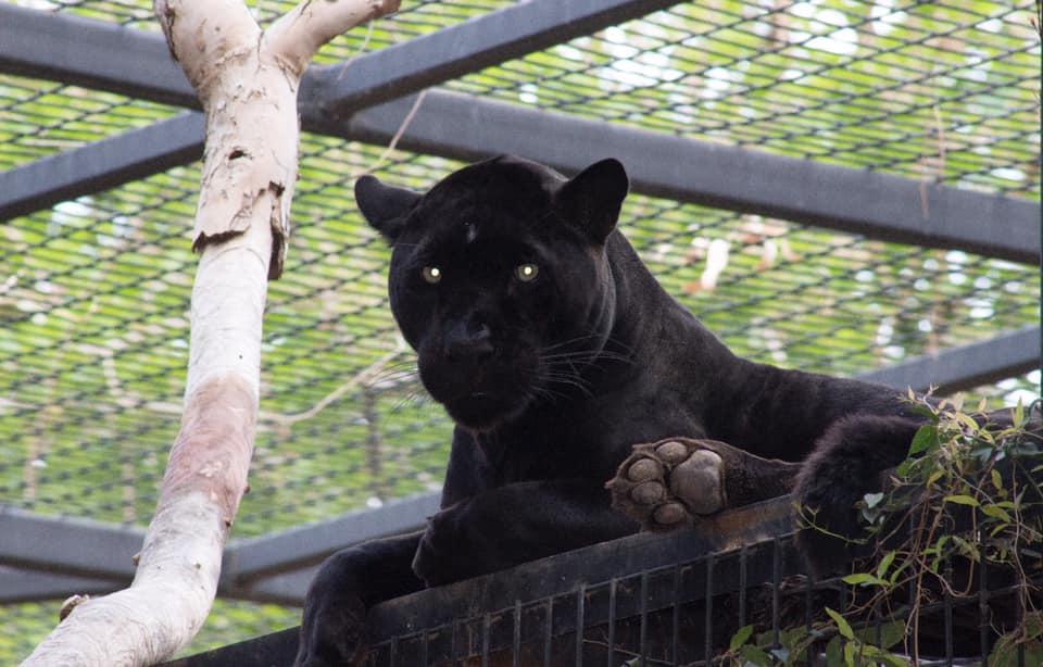 Jaguar en el recinto del zoo