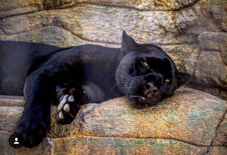 Jaguar en el zoo