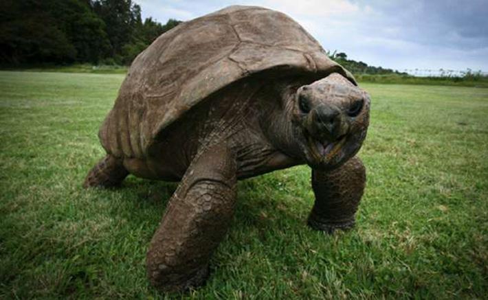Jonathan la tortuga más antigua