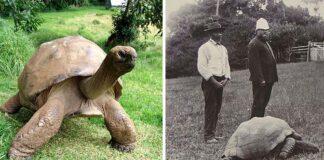 Jonathan la tortuga viva más antigua del mundo