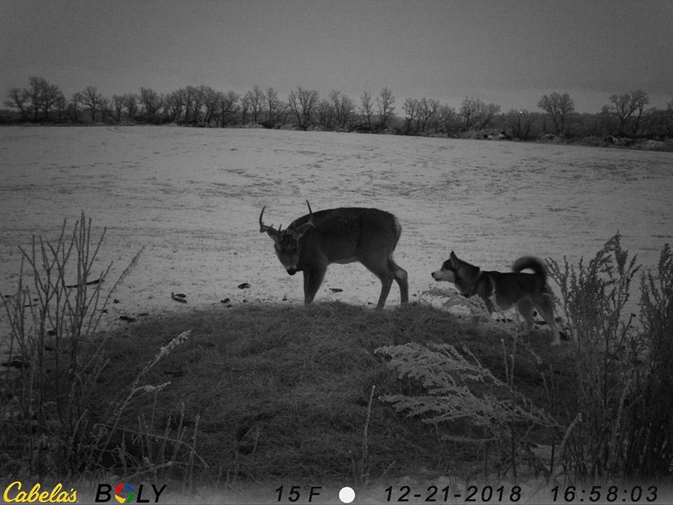 Koda olfateando al ciervo