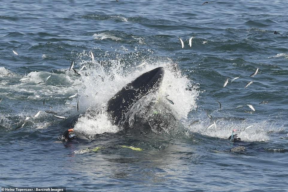 Migración de sardinas