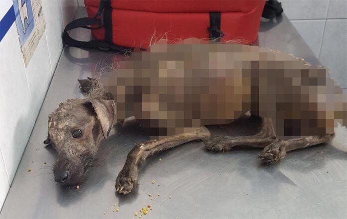 Perrito esquelético es rescatado en las calles