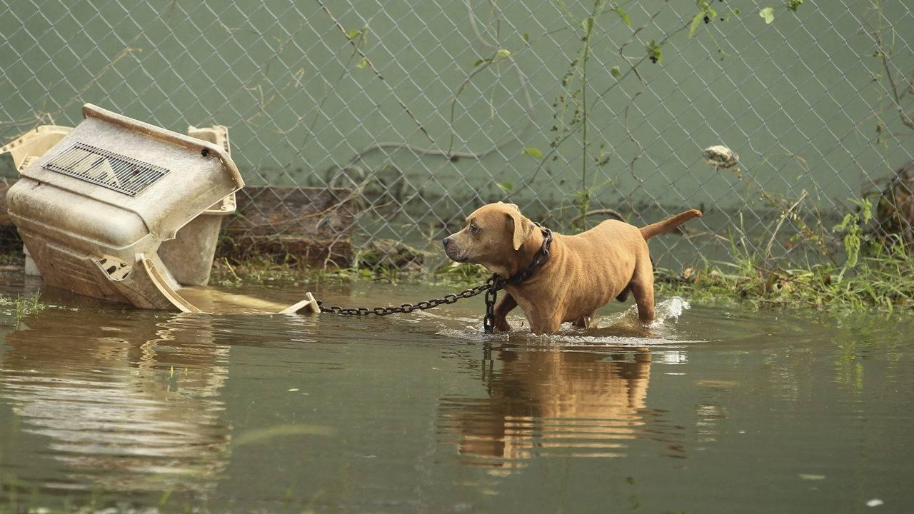 Perro atado durante inundación