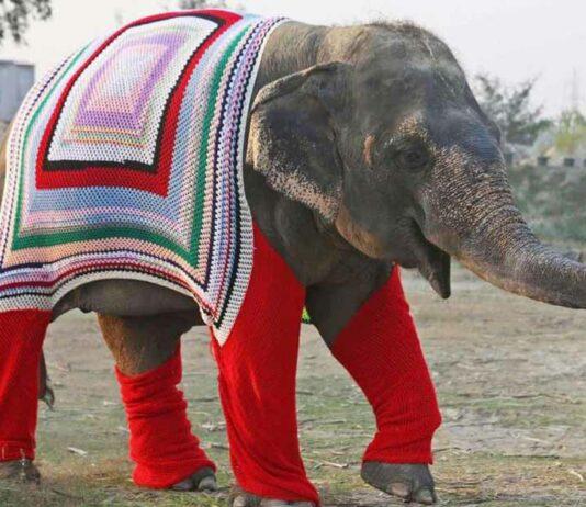 Personas tejen sueteres para mantener confortable a elefantes rescatados