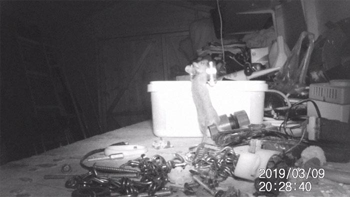 Ratón organiza herramientas en un recipiente
