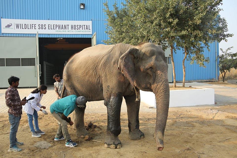 Tratan a elefante herido