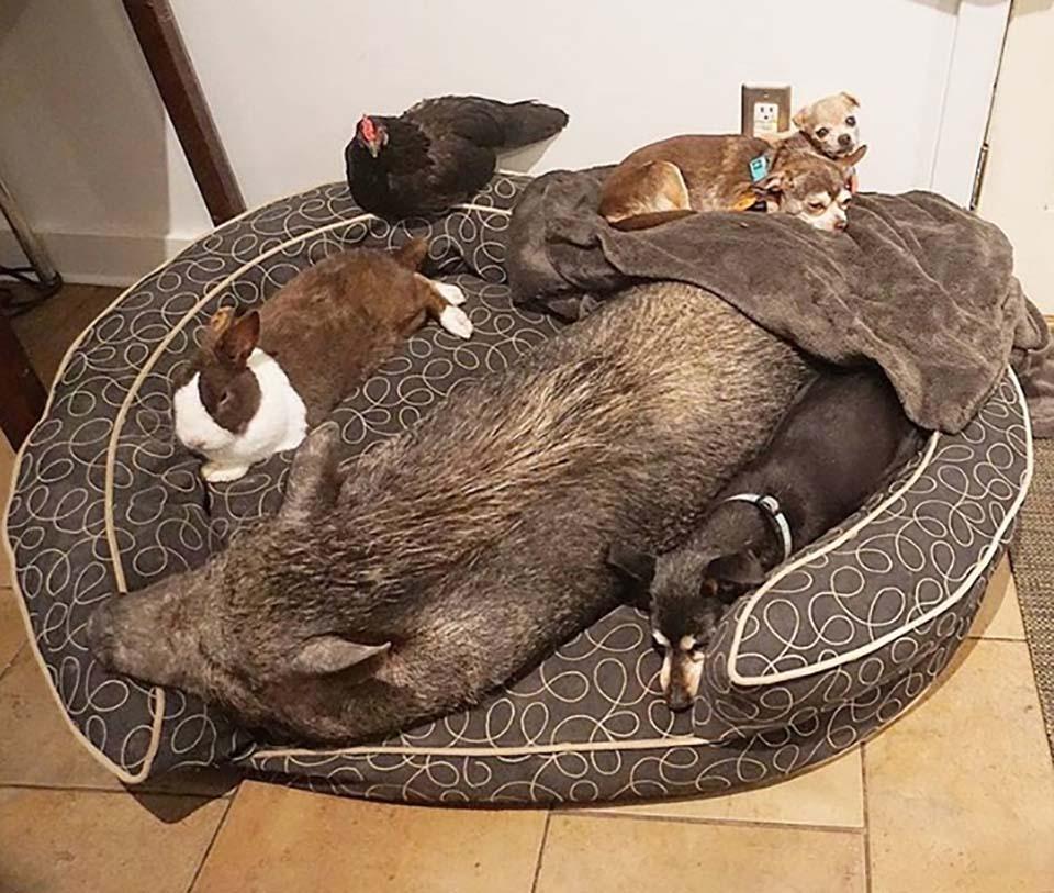 Adorables animales de granja y perros toman un descanso