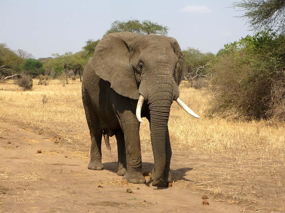 Elefante de África