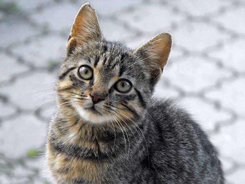 Gatito tigrillo